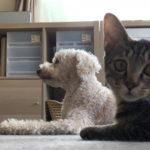 カメラが気になって集中して伏せができない猫のろく