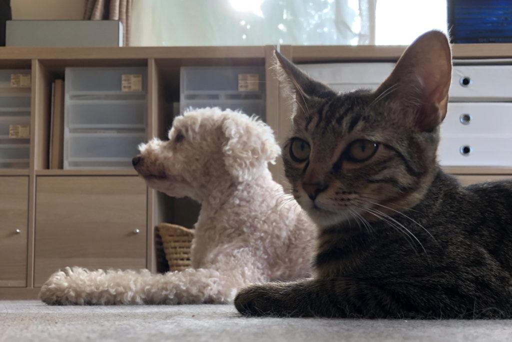 伏せの途中で横を向いてしまい反省する猫のろく