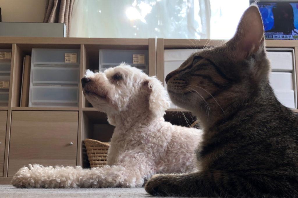 ネロくんを見習ってピシッと顔をあげて伏せをする猫のろく