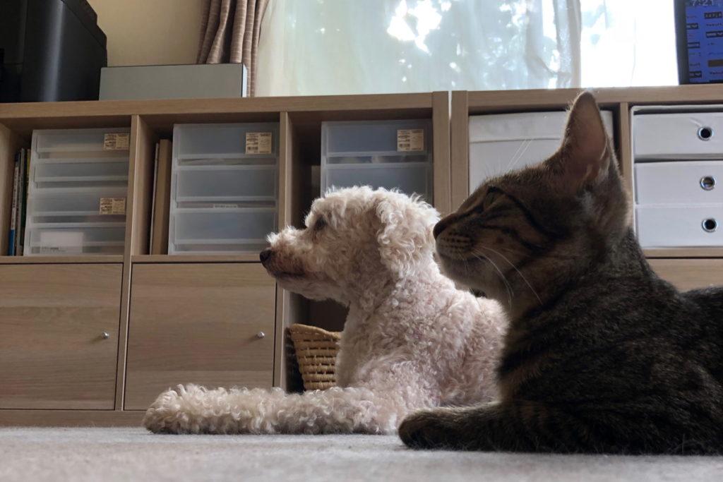 なんとか伏せをマスターした猫のろく