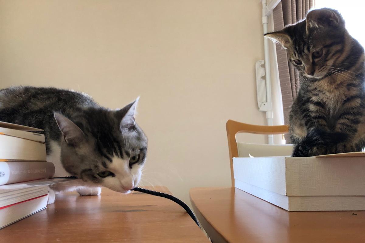 コードをかじる猫のふらとそれを見ているろく