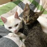 布団にいるきじとら猫のろくと白猫のしろ