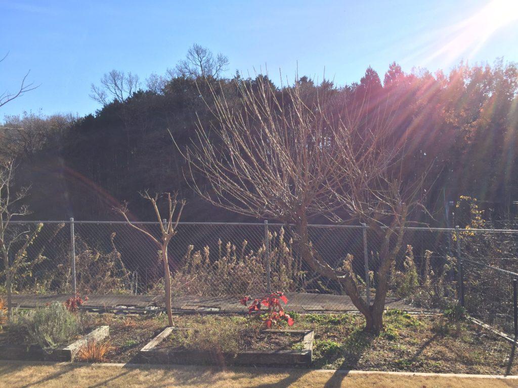 2年放置した2017年の秋は梅の徒長枝が伸び放題