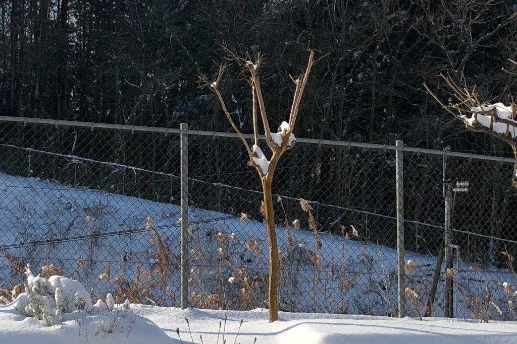 昨年剪定した後の冬のサルスベリ