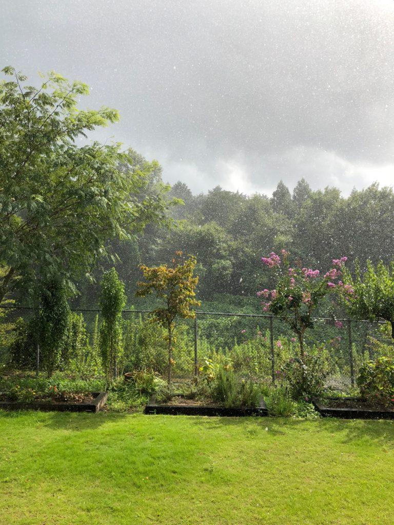 にわか雨の中で咲く夏のサルスベリ