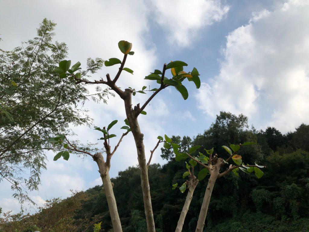 (After)樹形を整えた後のサルスベリの幹