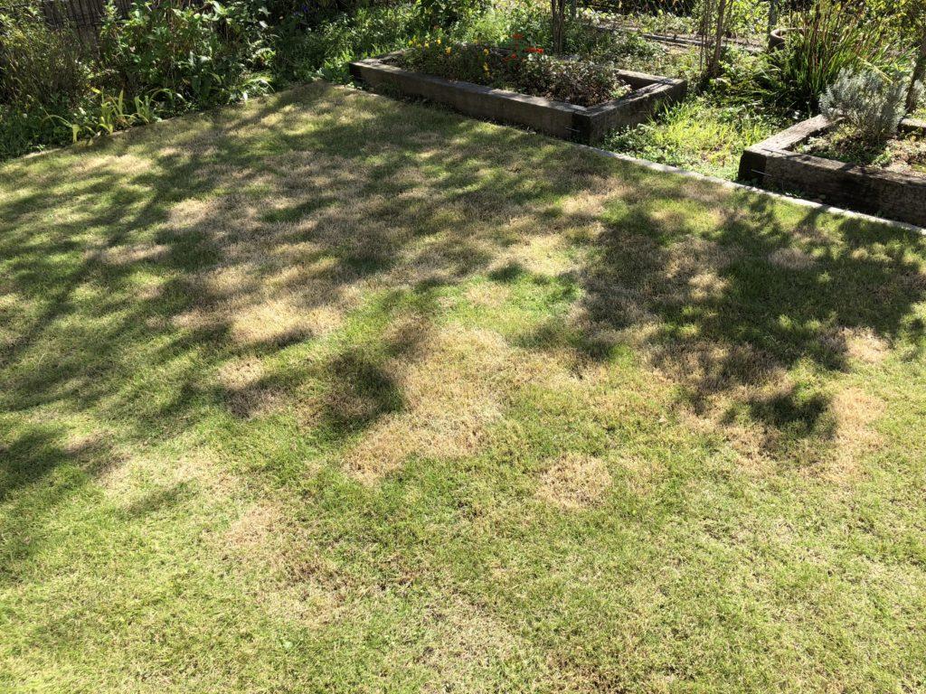 芝刈り・サッチング後の一部枯れてしまった芝