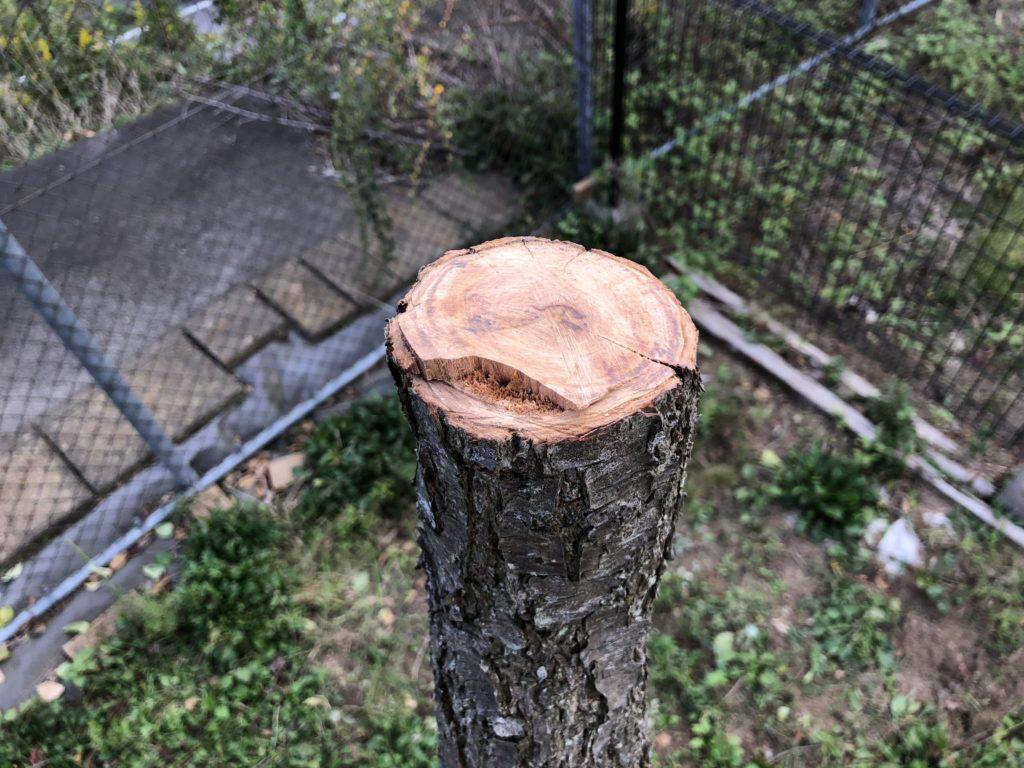 右奥の枯れた幹を切断