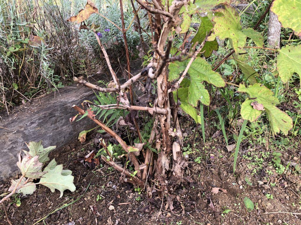枯れた枝を剪定