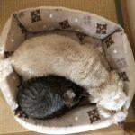 犬のネロくんに寄り添って寝る猫のろく