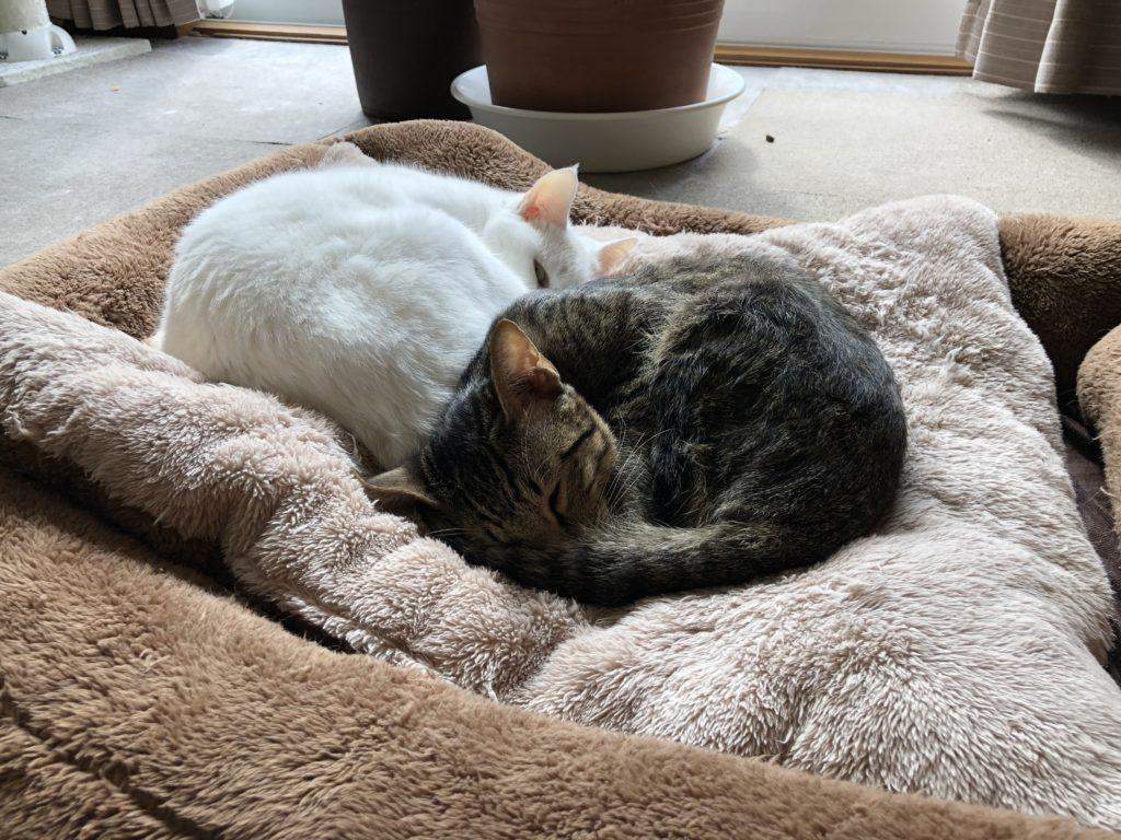 猫同士で一緒に寝て暖を取る