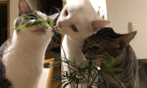 テーブルヤシをかじる3猫