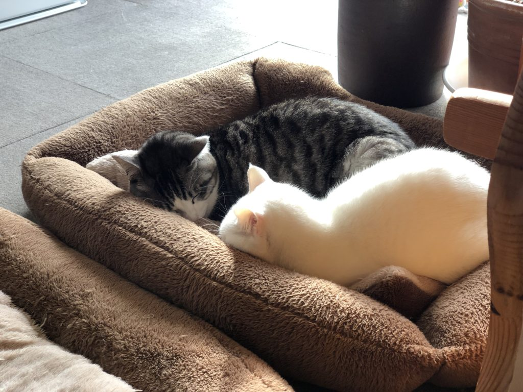 猫ベッドで一緒に寝ているしろとふら